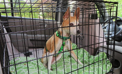 Rat Terrier on Car Transport